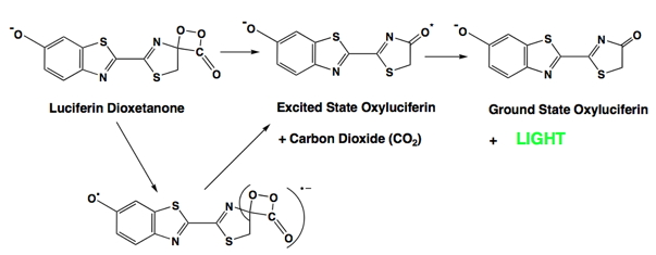 the chemically initiated electron exchange luminescence (cieel) mechanism  for the formation of excited state oxyluciferin in firefly bioluminescence