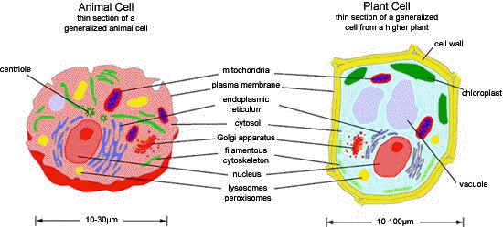 Animal Cell Organelles Functions Flashcards  Quizlet