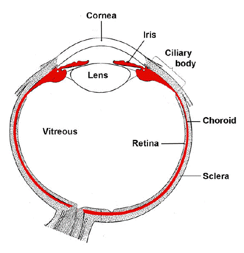 Anatomy of uveal tract