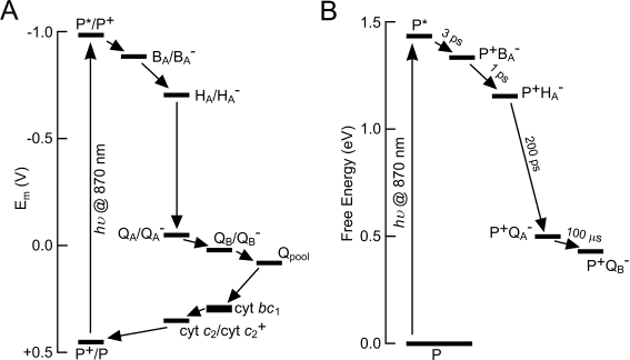 Bacterial photosynthesis a formation of the excited state through light absorption transforms the redox potential of p870 abbreviated to p in this diagram ccuart