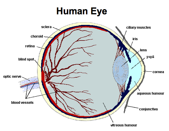 b1815b3699ce The structure of the Human Eye.