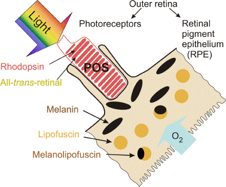 LIGHT-INDUCED DAMAGE to the RETINA