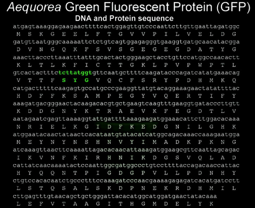 Amino Acid Sequence GFP